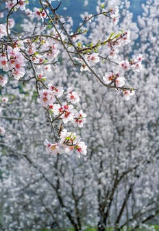 Weiße mandelbaumblüten während des frühlings, selektiver fokus, vertikaler schuss