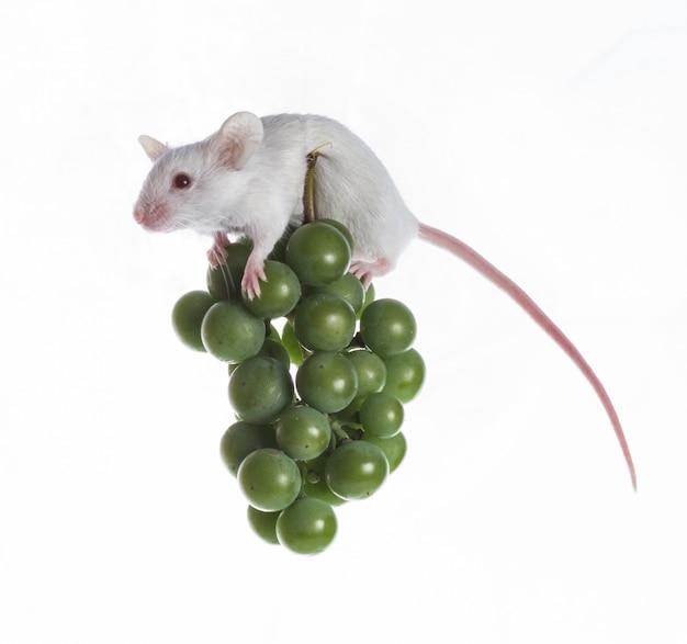 Weiße maus auf der reihe von grünen trauben auf einem weißen hintergrund