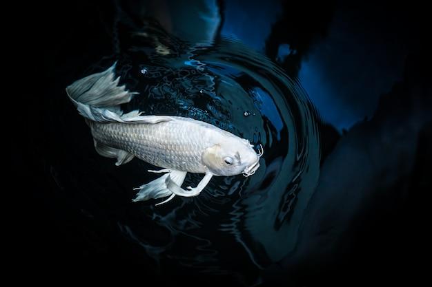 Weiße mistfisch- oder schmetterlingskoi-fisch-platinfarbe im teich