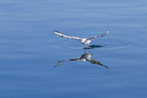 Weiße möwe, die versucht, einen fisch von der oberfläche des ruhigen meeres zu fangen