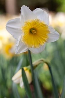 Weiße narzisse mit gelber mitte, die im frühling blüht