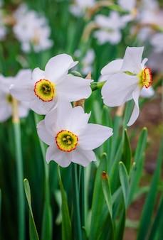 Weiße narzissen im frühling blühen im garten