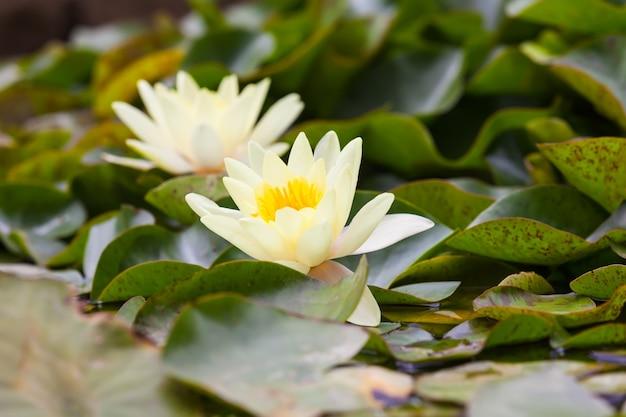 Weiße nymphaeaceae