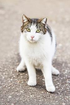 Weiße obdachlose katze der getigerten katze, die auf dem asphalt sitzt und in die kamera schaut