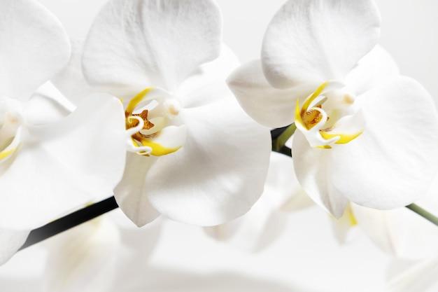 Weiße orchidee blüht nahaufnahme auf einem weißen hintergrund. weißer mit blumenhintergrund. tropische pflanzen zu hause.