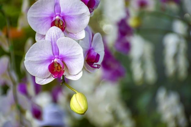 Weiße orchidee des hintergrundes gemischt mit purpurroten blumen.
