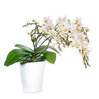 Weiße orchideen im topf