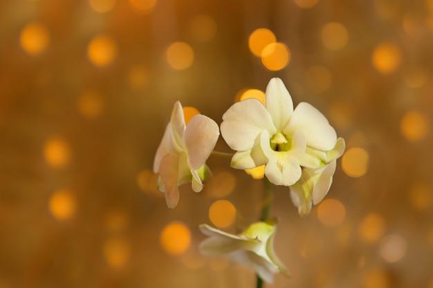 Weiße orchideenblüte auf goldenem bokeh-hintergrund. nahaufnahme tropischer orchideen-phalaenopsis-zweig mit goldenem bokeh