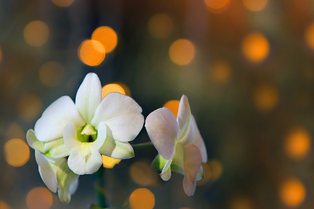 Weiße orchideenblüte auf goldenem bokeh-hintergrund. phalaenopsis-zweig mit dunkelgoldenem bokeh hautnah
