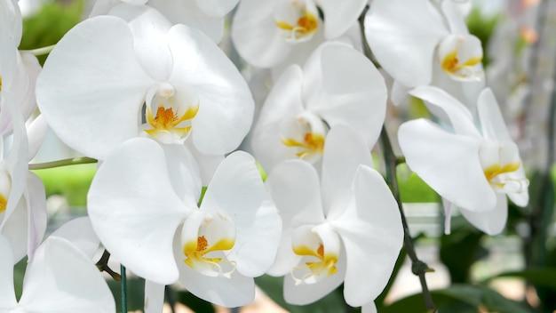 Weiße orchideenblüten. schließen sie oben von den tropischen blütenblättern im frühlingsgarten. exotische blütenblüte
