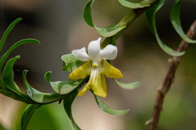 Weiße orchideenblume