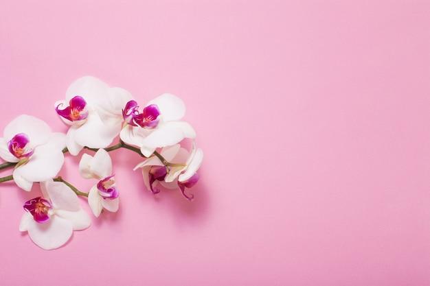 Weiße orchideenblumen auf rosa papierhintergrund