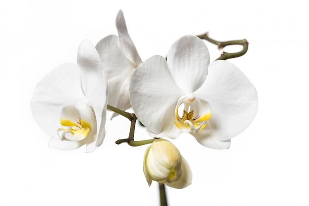 Weiße orchideenblumen lokalisiert auf weißem hintergrund. weisse orchidee.