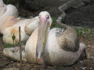 Weiße pelikane ruhen