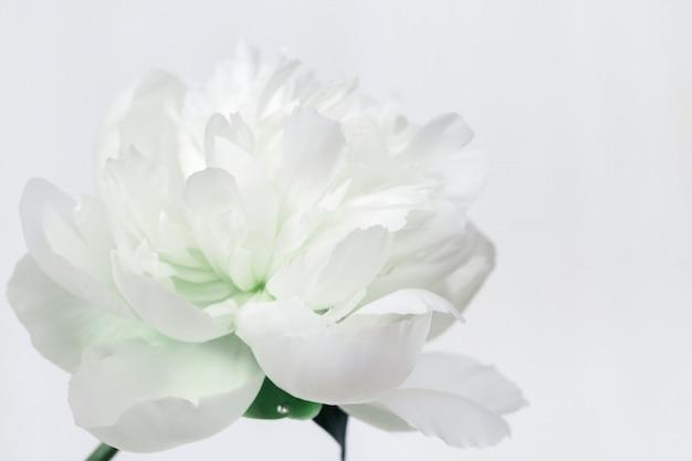 Weiße pfingstrose. blühende blume der pfingstrose. natürlicher blumiger hintergrund mit kopienraum. weicher selektiver fokus.