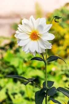 Weiße pfingstrose wächst im garten klar