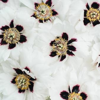 Weiße pfingstrosen blüht textur. flache lage, ansicht von oben