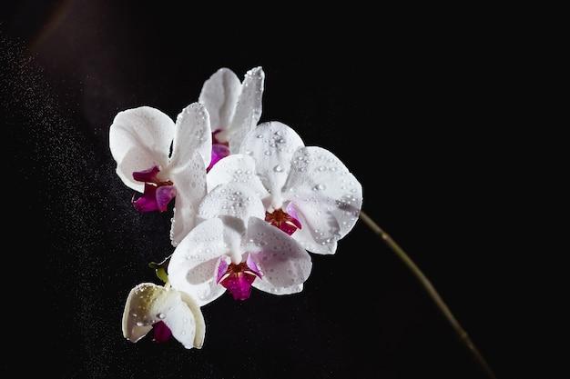 Weiße phalaenopsis-orchidee mit wasserspritzern auf schwarz