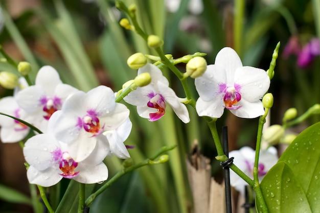 Weiße phalaenopsis-orchideen in voller blüte im gewächshaus