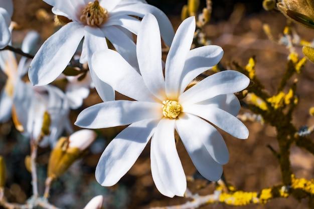 Weiße plumeria blüht im garten