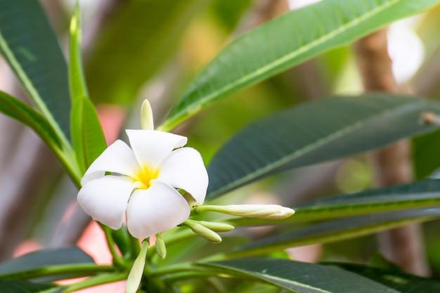 Weiße plumeria blüht schön
