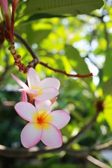 Weiße plumeria-blüten.