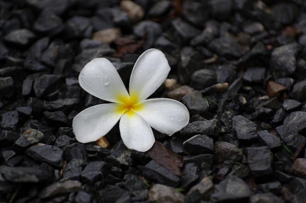 Weiße plumeriablume auf schwarzem kiesel