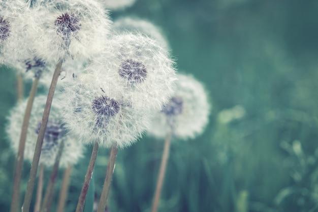 Weiße pusteblumen aus löwenzahn auf dunkler oberfläche
