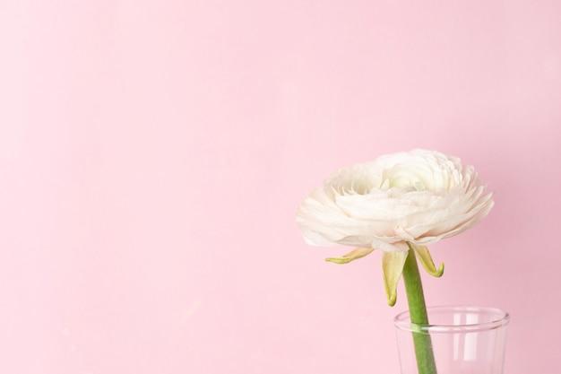 Weiße ranunculusblume des musters auf pastellrosa