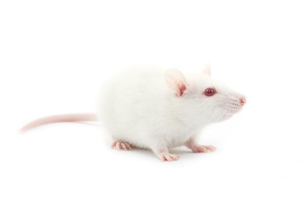Weiße ratte auf weiß isoliert