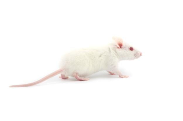 Weiße ratte isoliert auf weißem hintergrund