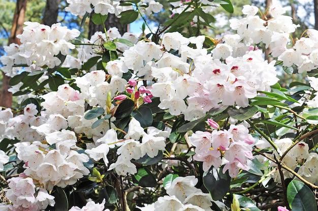 Weiße rhododendronblüten blühen