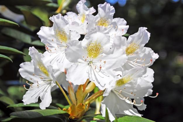 Weiße rhododendronblüten im park. weiße azaleenblume, die im frühling blüht