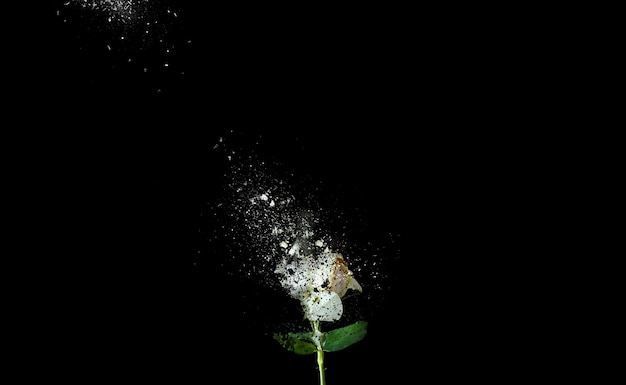 Weiße rose auf schwarzem hintergrund isoliert. blume, die in stücke fällt. kunst bild.