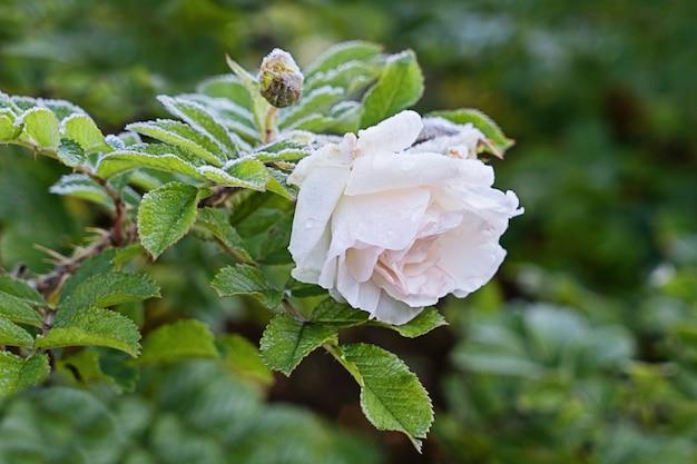 Weiße rose im garten