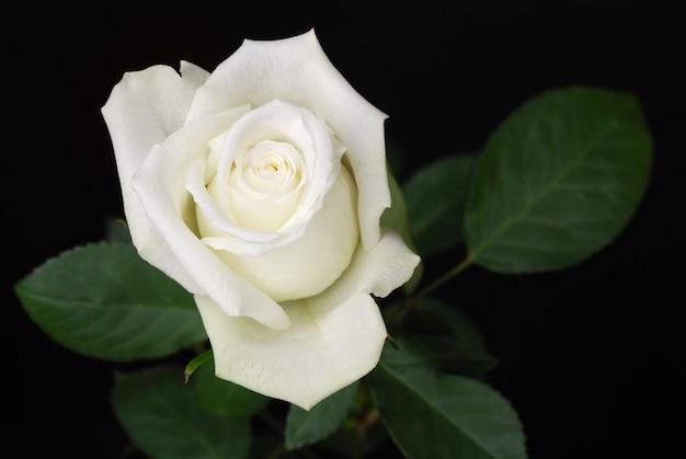 Weiße rose mit blättern im studio