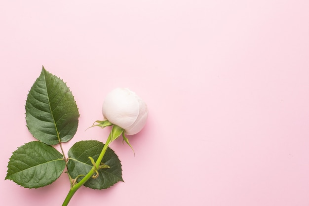 Weiße rosen auf pastellrosa hintergrund mit copyspace. urlaub und liebesartikel