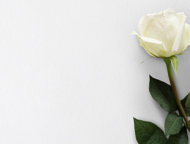 Weiße rosen-blumen-hintergrund-natur