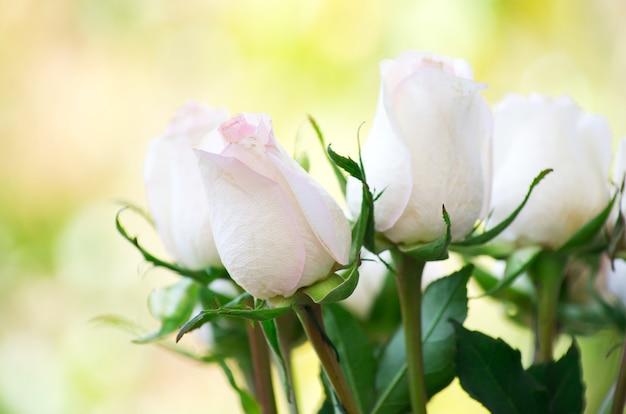 Weiße rosen isoliert auf einer grünen oberfläche
