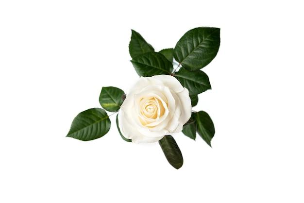 Weiße rosen lokalisiert auf weißem tisch.