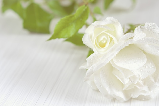 Weiße rosen mit tautropfen auf einem hellen strukturierten hintergrund