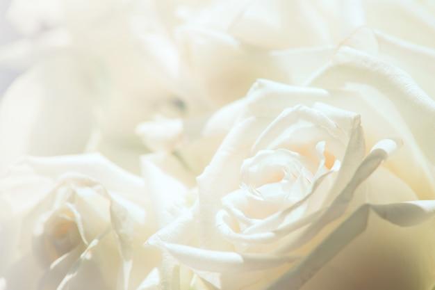 Weiße rosennahaufnahme für hintergrund