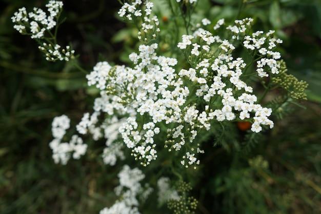 Weiße schafgarbe blumen. achillea millefolium