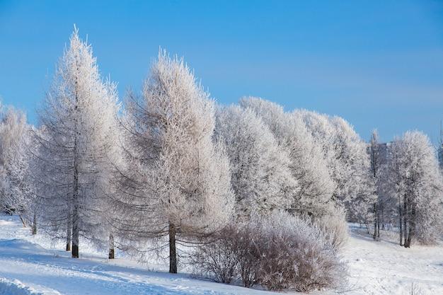 Weiße schneebedeckte bäume im winterwald und im klaren blauen himmel. wunderschönen