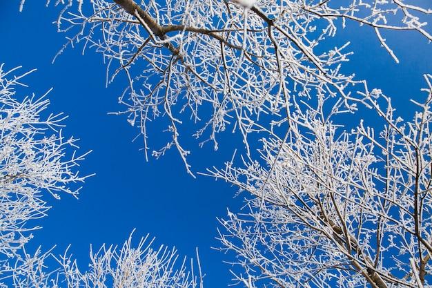 Weiße schneebedeckte niederlassungen des baums im winterwald auf hintergrund des blauen himmels