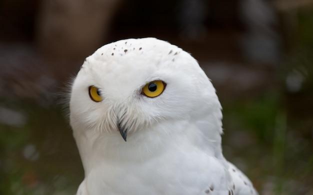 Weiße schneeeule