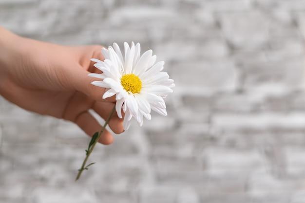 Weiße schöne kamillenblume in weiblicher hand, handpflege.