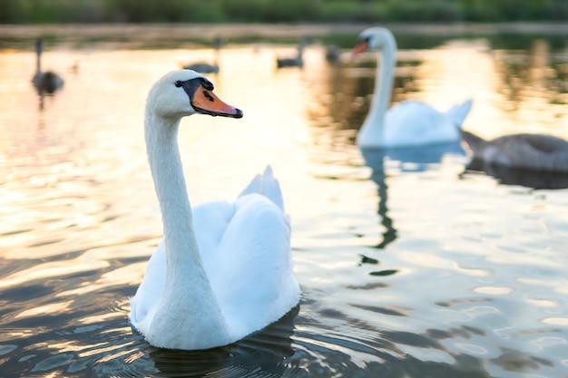 Weiße schöne schwäne schwimmen im sommer auf dem seewasser.