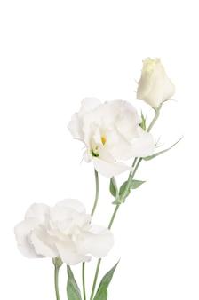 Weiße schönheitsblumen lokalisiert auf weiß. eustoma