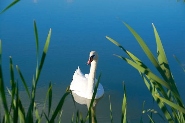 Weiße schwäne auf dem teich mit einem spiegelbild der wolken